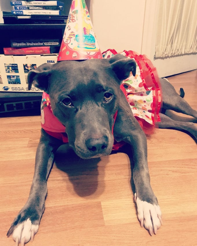 Blue nose pit bull wearing a birthday hat